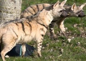 aardwolf facts for kids