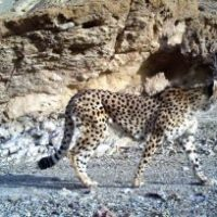 Asiatic cheetah facts for kids