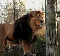 asiatic lion facts for kids