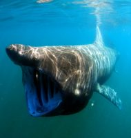 basking shark facts for kids