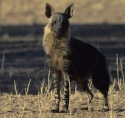 brown hyena facts for kids