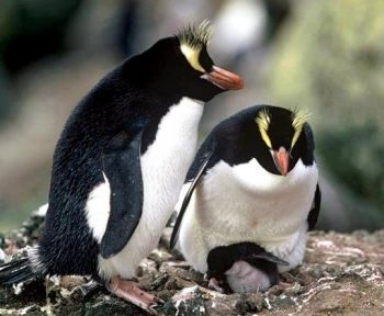 Fiordland penguin facts