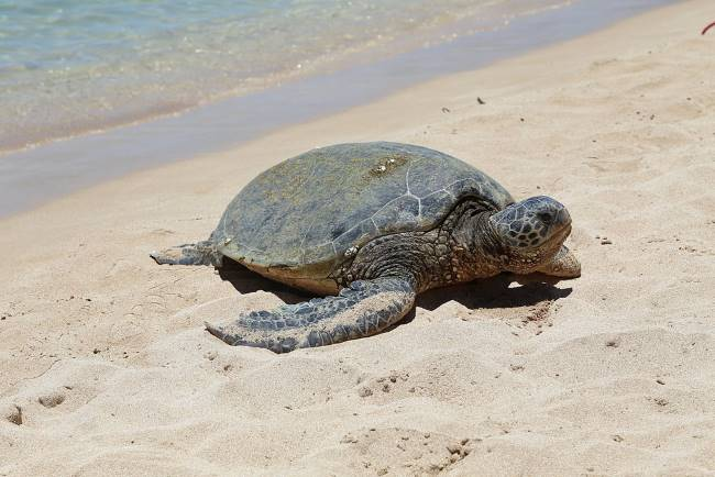 Green Sea Turtle picture - Green Sea Turtle Facts For Kids