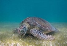 Green sea turtle image - green sea turtle facts for kids