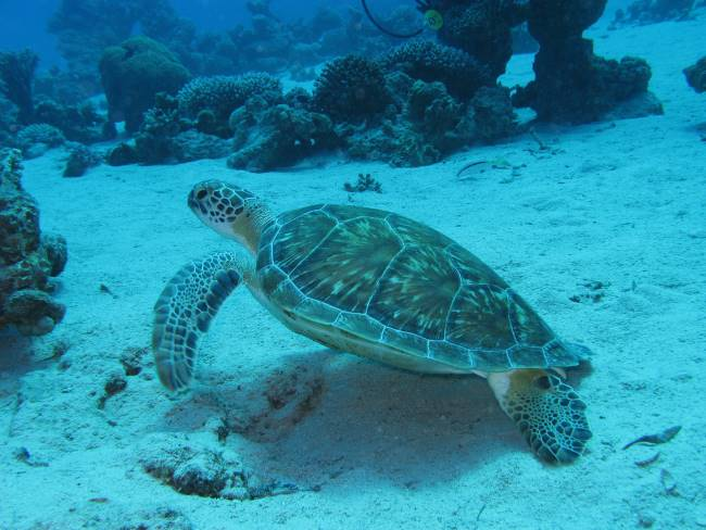 Juvenile Green Sea Turtle - Green Sea Turtle Facts for Kids