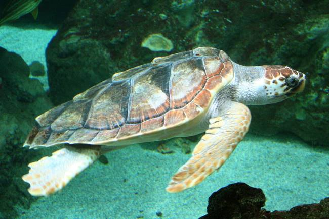 Loggerhead Sea Turtle image - Loggerhead Sea Turtle Facts for Kids