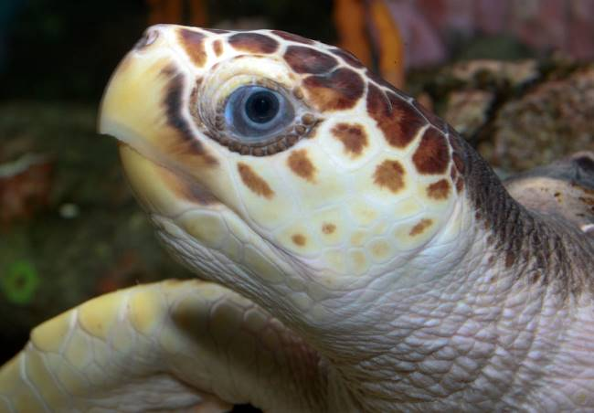 Loggerhead Sea Turtle picture- Loggerhead Sea Turtle Facts for kids