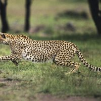 Northwest African Cheetah facts for kids