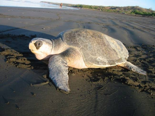 Olive Ridley Sea Turtle Image - Olive Ridley Sea Turtle Facts for Kids