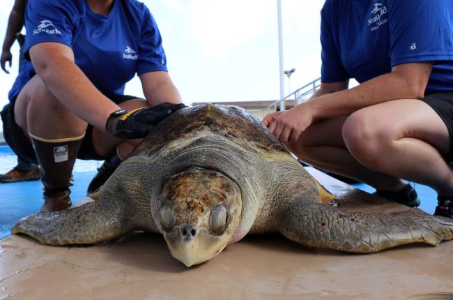 Olive Ridley Sea Turtle - Olive Ridley Sea Turtle Facts for Kids