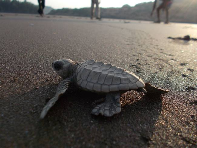 Picture of Olive Ridley Sea Turtle - Olive Ridley Sea Turtle Facts for Kids