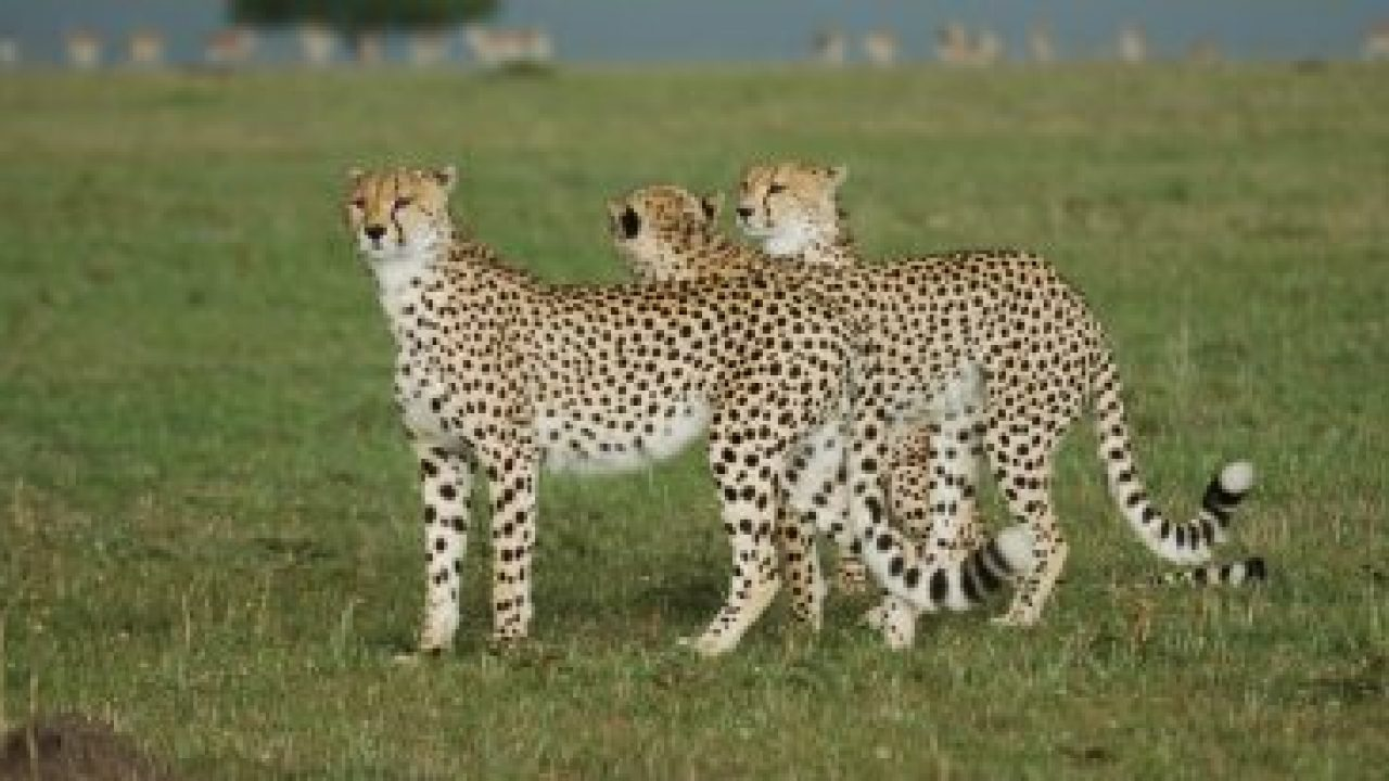 Tanzanian Cheetah Facts for Kids - Information and Facts
