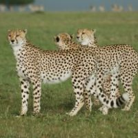 Tanzanian cheetah facts for kids