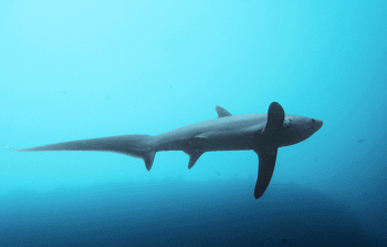 Common Thresher Shark Facts - Interesting Information and ...