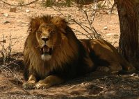 transvaal lion facts for kids