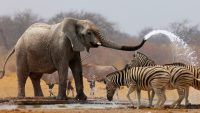 african bush elephant facts