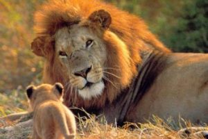west african lion facts for kids