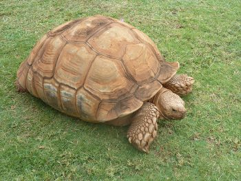African spurred tortoise - photo#42