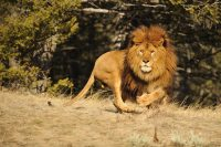 barbary lion facts for kids