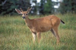 black tailed deer facts