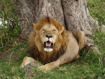 cape lion facts for kids