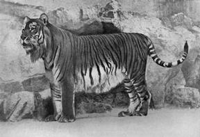 caspian tiger facts for kids