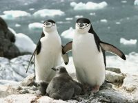 chinstrap penguin facts