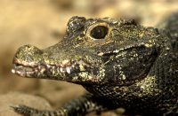 dwarf crocodile facts