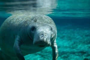 florida manatee facts