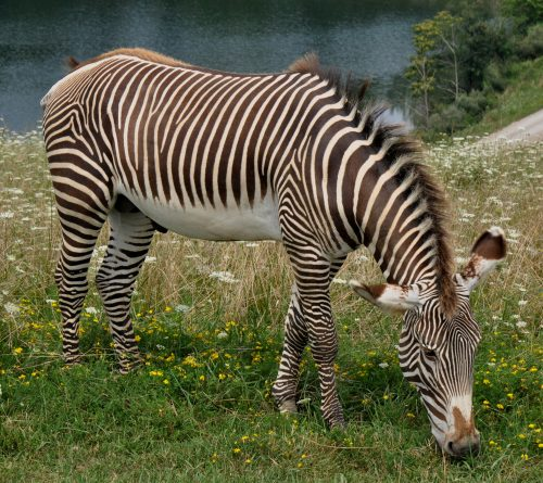 grevy's zebra facts