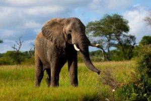 indian elephant facts