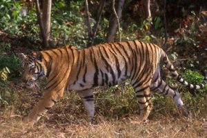indochinese tiger facts for kids