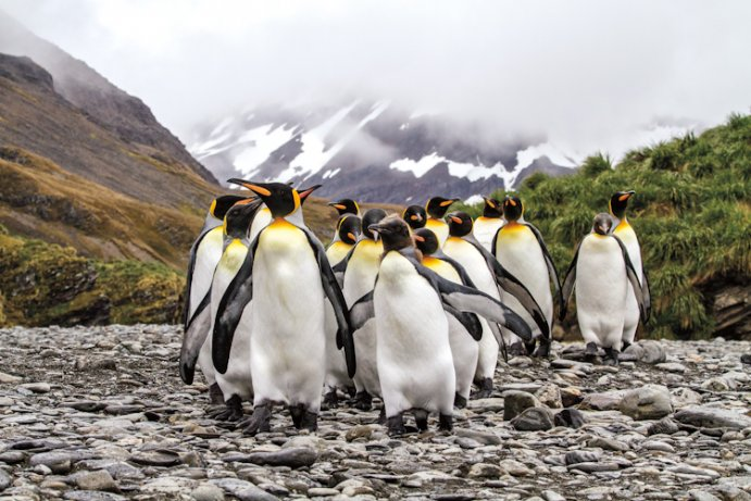 king penguin facts
