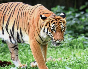 malayan tiger facts for kids