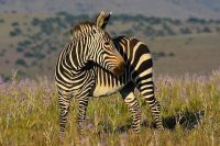 mountain zebra facts