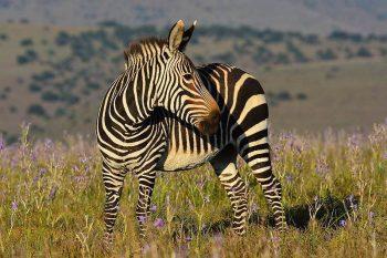 mountain zebra facts