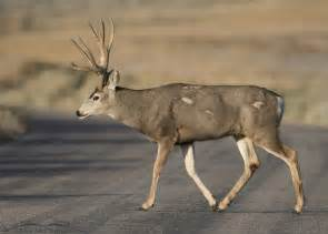 mule deer facts