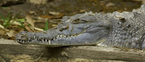 orinoco crocodile facts