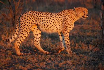 south african cheetah facts for kids