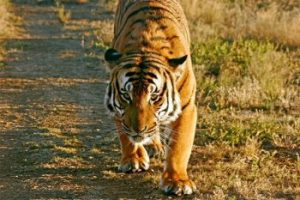 south china tiger facts for kids