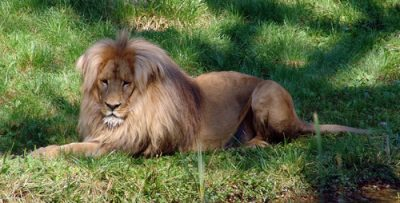 southwest african lion facts for kids