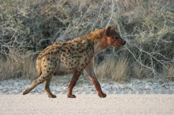 spotted hyena facts for kids