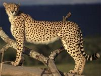 sudan cheetah facts for kids