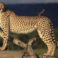 sudan cheetah facts for kids