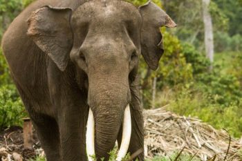 sumatran elephant facts