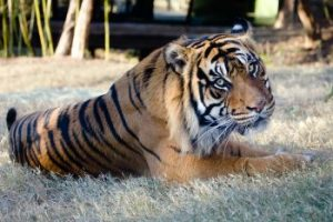 sumatran tiger facts for kids