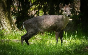 tufted deer facts