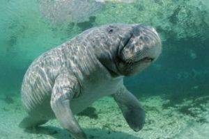 West Indian manatee facts