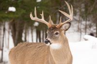 white tailed deer facts