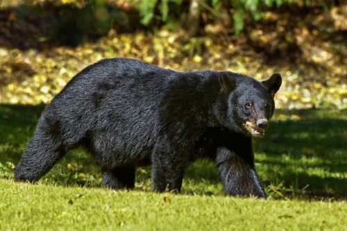 american black bear facts